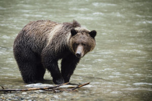 Grizzly Bears, Orford River Valley, British Columbia, Canada
